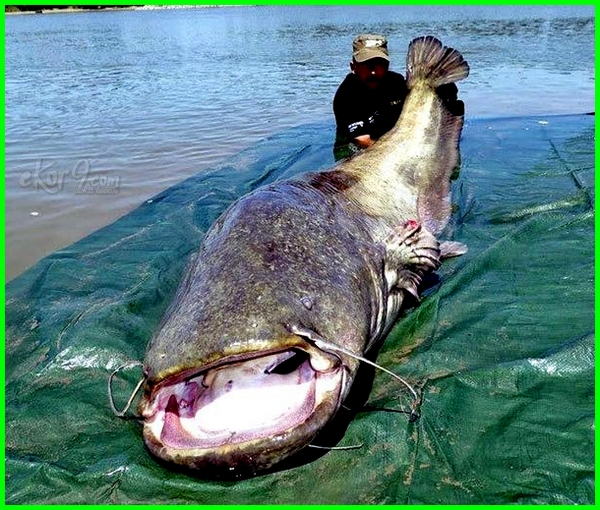 ikan air tawar paling besar, ikan air tawar paling besar di dunia, ikan air tawar paling besar di indonesia, ikan air tawar purba terbesar, ikan air tawar ter besar, ikan air tawar yang bisa tumbuh besar, ikan air tawar ukuran besar, video ikan air tawar terbesar, video ikan air tawar terbesar di dunia