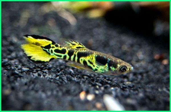 20 Rekomendasi Ikan Hias Kecil yang Cantik - Ekor9.com