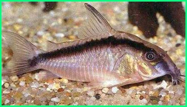 ikan corydoras, beli ikan corydoras, beternak ikan corydoras