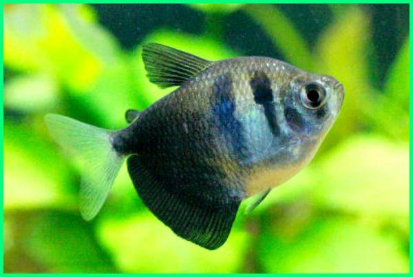 jenis ikan black tetra, jenis ikan hias tetra, jenis tetra ikan, jenis ikan tetra aquascape, gambar jenis ikan tetra, berbagai jenis ikan tetra, jenis dan harga ikan tetra