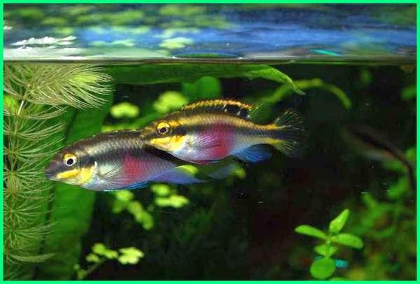 kribensis pair, kribensis pairs, kribensis male and female, male and female kribensis