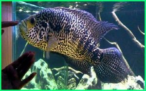 ikan jaguar, ikan jaguar catfish, ikan jaguar harga, harga ikan jaguar cichlid, budidaya ikan jaguar gambar ikan jaguar, perbedaan ikan jaguar jantan dan betina, ikan jaguar cichlid, budidaya ikan jaguar cichlid, jual ikan jaguar catfish, gambar ikan jaguar cichlid, klasifikasi ikan jaguar cichlid