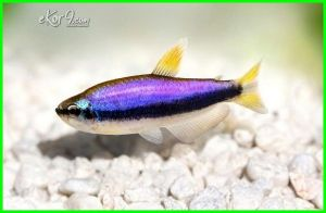 emperor tetra fish care with discus breeding purple types fishlore female black and angelfish neon animal world guppies aquatic arts blue kerri behavior bully baby compatibility chasing colors tetras each other losing colour cherry shrimp