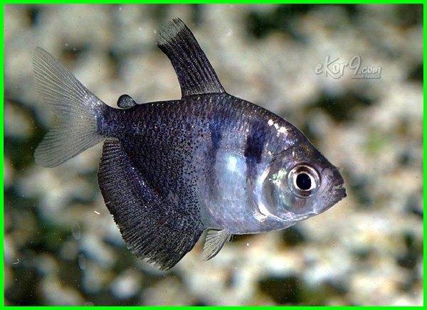 tetra hitam, kumpulan ikan tetra hitam, tetra gk merah tapi hitam