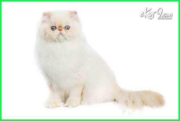 kucing himalaya putih, kucing himalaya adalah, kucing himalaya berasal dari, kucing himalaya colorpoint, kucing himalaya doll face, kucing himalaya ekor pendek, kucing himalaya foto, fakta kucing himalaya, foto2 kucing himalaya, kucing himalaya gemuk, kucing himalaya gede