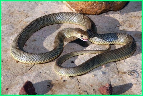 ular mematikan di Indonesia, 7 ular paling mematikan, 7 ular berbisa paling mematikan di dunia, ular mematikan di australia, ular mematikan di dunia, ular bisa mematikan, ular beracun mematikan, ular berbisa mematikan di dunia, ular yang bisanya mematikan, foto ular mematikan, ular ganas mematikan, gambar ular mematikan