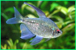 tentang ikan diamond tetra, diamond tetra fish with discus tank mates tetrahedral aggressive for sale structure breeding school neon and guppies australia