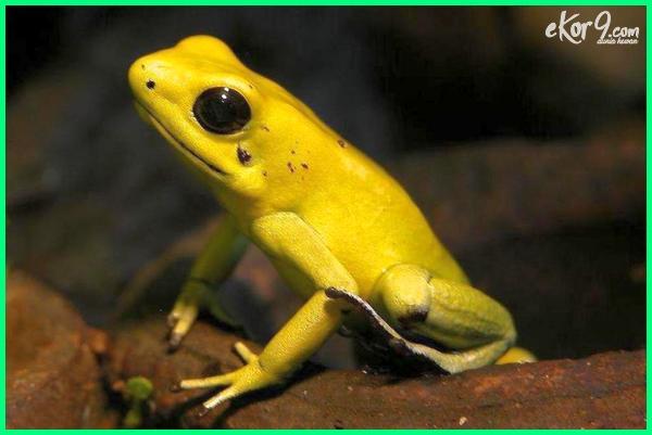 amfibi beracun, amfibi paling beracun, apa itu katak panah beracun, nama katak beracun, nama latin katak beracun, nama ilmiah katak panah beracun, nama katak yang beracun, kenapa katak beracun