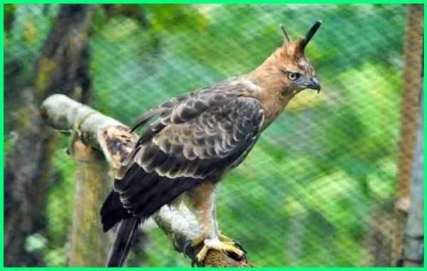 apakah elang jawa ditetapkan sebagai satwa langka, apakah benar elang jawa ditetapkan sebagai satwa langka, apakah elang jawa termasuk hewan langka, mengapa elang jawa termasuk hewan langka, mengapa elang jawa langka