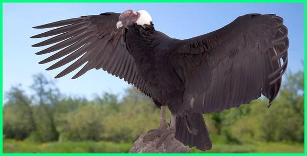 burung nasar terbesar, burung nazar terbesar, burung kondor terbesar, burung pemakan bangkai terbesar