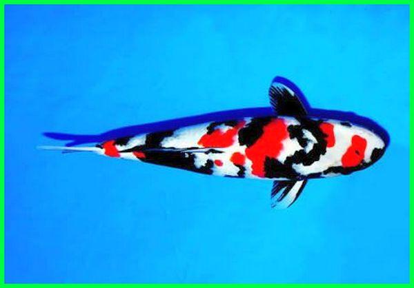 ikan koi termahal saat ini