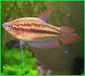 ikan hias gurami coklat
