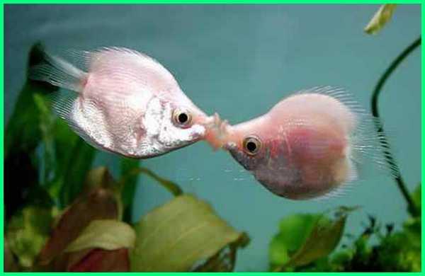 kissing fish.com, budidaya ikan tambakan, gambar ikan tambakan, ikan tambak air tawar, ikan ciuman, ikan biawan/tambakan, foto ikan tambakan, tambak ikan hias, tambak ikan hias koi, budidaya ikan hias tambakan, ternak ikan tambakan, ikan tambakan wikipedia