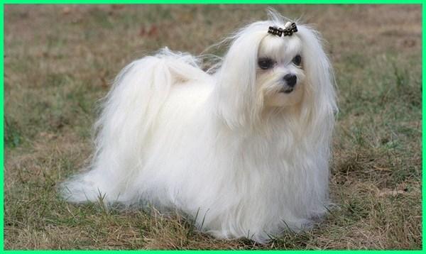 jenis anjing kecil lucu, jenis anjing kecil yang lucu, jenis anjing kecil yg lucu, jenis anjing kecil dan lucu, anjing kecil lucu harga, anjing kecil lucu murah