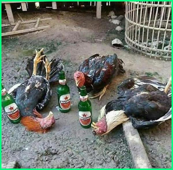 Ayam Lucu Mabok Meme Ayam Aduan Meme Adu Ayam Meme Ayam