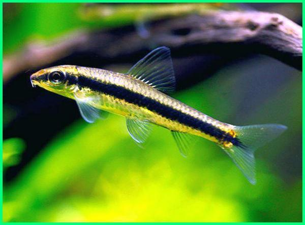 siamese algae eater fish, identifying the siamese algae eater, siamese algae eater behaviour, siamese algae eater info, siamese algae eater nyc, siamese algae eater online, siamese algae eater temperament siamese algae eater territorial, siamese algae eater yellow