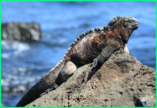 iguana laut, gambar iguana laut