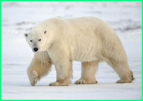 beruang kutub beradaptasi dengan cara, beruang kutub adalah hewan langka yang hidup di daerah, beruang kutub berasal dari, beruang kutub berbulu tebal untuk, beruang kutub beradaptasi terhadap lingkungan dingin di kutub dengan cara, beruang kutub berkembang biak dengan cara, beruang kutub cari mangsa