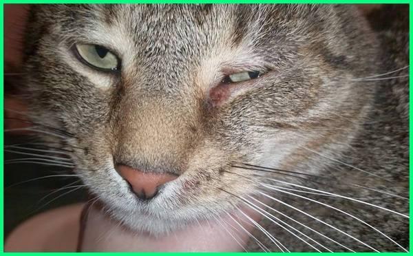 apa obat kucing sakit mata, apa nak buat kalau kucing sakit mata, apakah kucing bisa sakit mata, apakah sakit mata kucing bisa menular ke manusia, bagaimana merawat kucing sakit mata, bagaimana jika kucing sakit mata, bagaimana mengobati kucing sakit mata, bagaimana kalau kucing sakit mata, cara mengobati kucing sakit mata, cara menyembuhkan kucing sakit mata