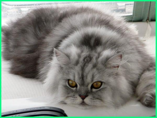 gambar kucing persia lucu banget, contoh kucing persia lucu, foto kucing persia lucu, foto kucing persia lucu imut, kumpulan foto kucing persia lucu, koleksi foto kucing persia lucu, foto kucing persia pesek lucu, foto kucing persia yang lucu, foto kucing persia yg lucu, gambar kucing persia lucu imut, gambar kucing persia yang lucu, gambar kucing persia putih lucu