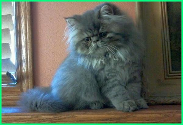 kucing persia warna abu, kucing persia warna abu2, kucing persia warna abu abu, kucing persia abu abu putih