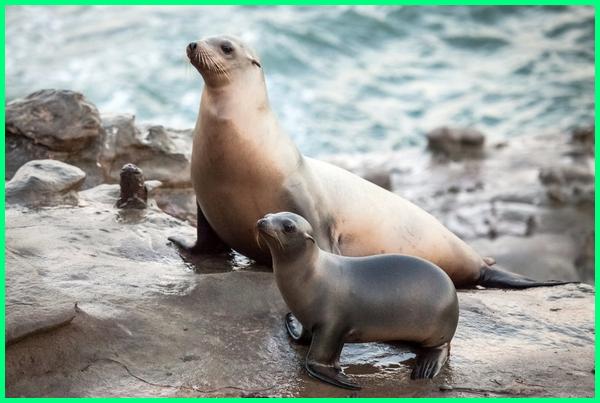 binatang mamalia air, mamalia air contohnya, mamalia air disebut, mamalia di air, mamalia dalam air binatang mamalia di air, gambar mamalia air, mamalia yang hidup air laut, mamalia yang hidup air, hewan mamalia air contohnya, hewan mamalia air yang melahirkan