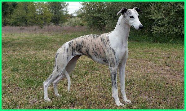 nama anjing tercepat balap anjing tercepat, ras anjing tercepat, anjing tercepat di dunia, anjing tercepat dunia anjing pelari tercepat