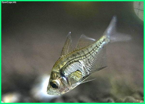 ikan asin kaca,ikan hias kaca, jenis ikan kaca