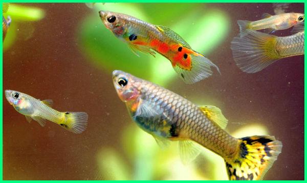 ikan guppy, ikan hias yang mudah beranak, ikan hias yang mudah beranak dalam aquarium, ikan hias kecil yang mudah beranak