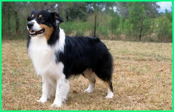 jenis nama anjing lucu,jenis nama anjing besar, jenis anjing penuntun orang buta, jenis anjing paling setia, jenis anjing ramah, jenis anjing setia