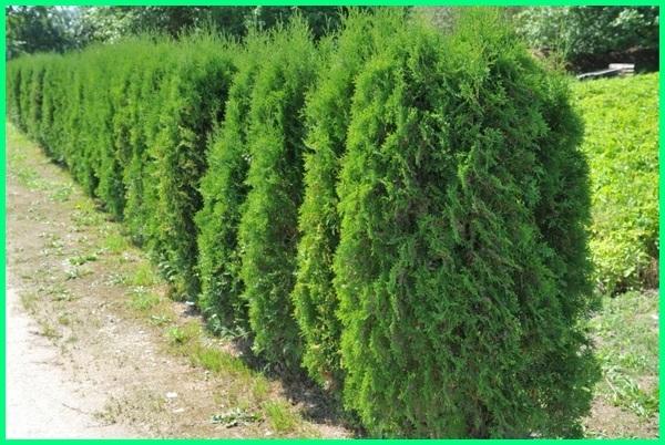 jenis tanaman pagar di indonesia, jenis tanaman untuk pagar, jenis tanaman pagar hidup, jenis tanaman buat pagar, jenis tanaman yang cocok buat pagar, jenis tanaman yang cocok untuk pagar, gambar tanaman pagar, tanaman pagar hijau