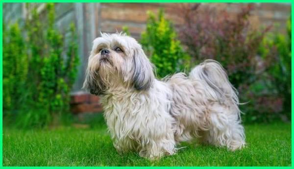 perawatan anjing shih tzu, jenis anjing ras shih tzu, tentang anjing shih tzu, ukuran anjing shih tzu, cara merawat anjing shih tzu yang benar