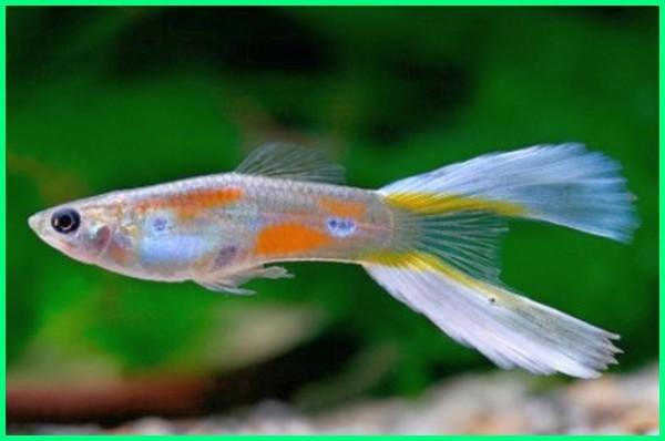 ikan guppy berdasarkan ekornya, perbedaan ikan guppy dari ekornya
