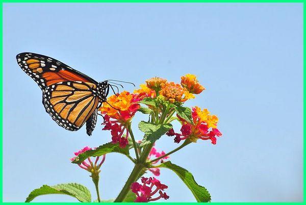 apa manfaat kupu-kupu bagi lingkungan rumah, manfaat antena kupu kupu, apa manfaat kupu kupu, apa manfaat kupu kupu bagi manusia, apa manfaat kupu kupu bagi lingkungan rumah, apa saja kegunaan kupu kupu, manfaat kupu kupu bagi ekosistem, contoh manfaat kupu kupu, manfaat daur hidup kupu kupu, fungsi dan manfaat kupu kupu
