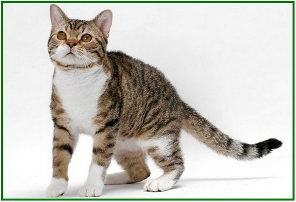 kucing kampung mahal, kucing kampung di amerika yang mahal