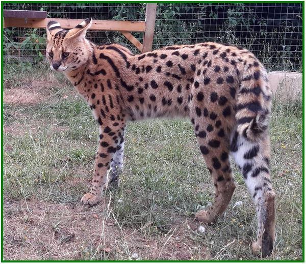 kucing mahal di dunia, kucing mahal dari afrika, kucing berharga mahal, kucing paling mahal dunia, foto kucing mahal, gambar kucing mahal, kucing harga mahal