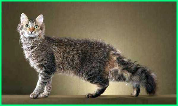 kucing ga rontok, jenis kucing bulu tidak rontok, apa obat supaya bulu kucing tidak rontok, bagaimana agar bulu kucing tidak rontok, kenapa kucing bulu rontok