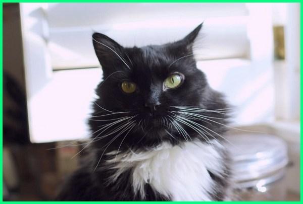 Download 101+  Gambar Kucing Anggora Hitam Terbaik