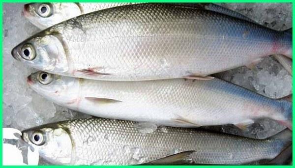 ikan konsumsi air laut adalah, 10 ikan konsumsi air laut, ikan laut besar konsumsi, ikan laut yang bisa di konsumsi