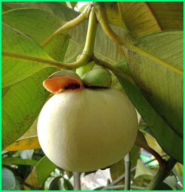buah langka di indonesia, buah langka di dunia, buah langka kalimantan, buah langkah di indonesia, buah langka asli nusantara, buah langka beserta namanya, gambar buah langka di indonesia, manggis putih, white mangosteen