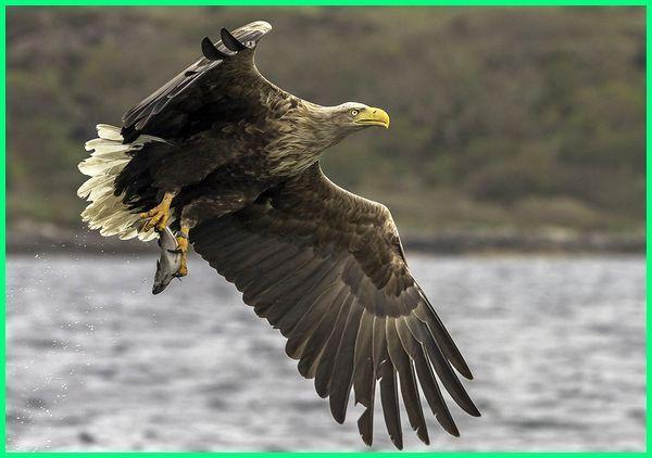 burung elang besar, jenis elang besar, gambar elang besar, makanan elang besar, jenis elang berukuran besar