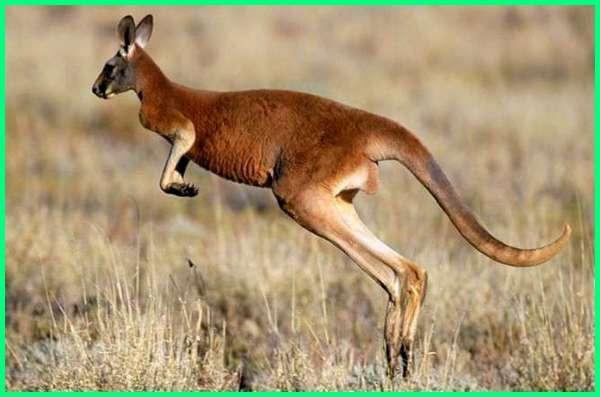 hewan melompat contohnya, hewan pandai melompat, gambar hewan melompat, hewan dengan cara melompat, contoh hewan melompat, hewan dapat melompat, hewan bergerak dengan melompat, hewan yang suka melompat dari australia, hewan melompat memiliki kantung