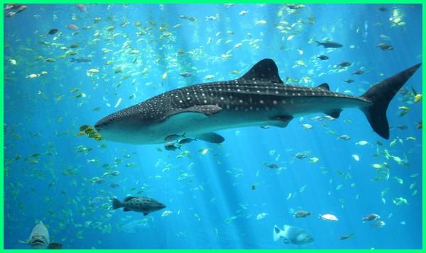 jenis ikan hiu yang dilindungi, jenis ikan hiu yang dilarang, jenis ikan hiu di dunia, jenis ikan hiu beserta gambar, jenis ikan hiu yang ada di indonesia, jenis jenis ikan hiu beserta gambarnya, jenis ikan hiu yang dilindungi di indonesia