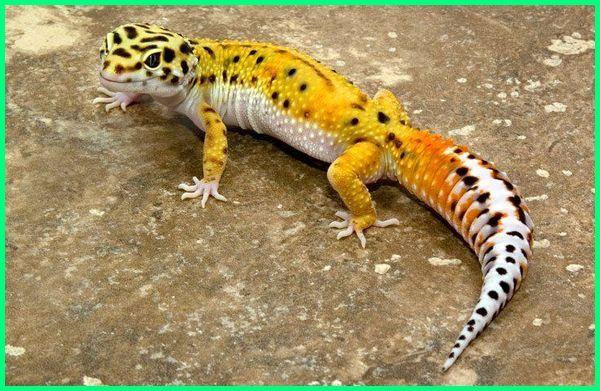 jenis kadal gecko, jenis jenis tokek peliharaan, pelihara tokek di rumah, pelihara tokek rumah