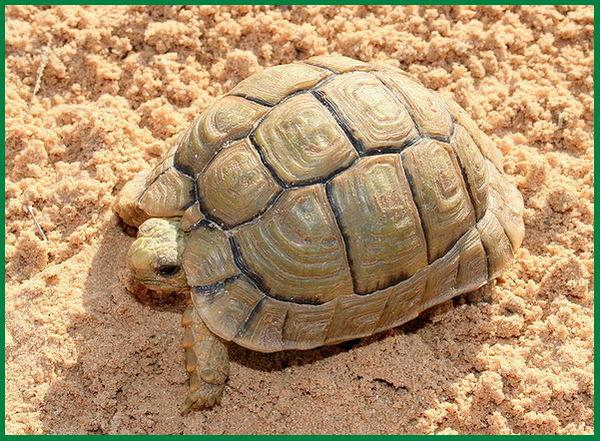 jenis kura-kura yang hidup di pasir
