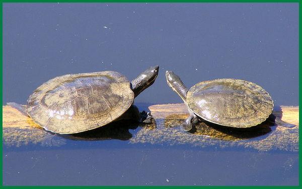 jenis kura kura sungai, jenis kura kura yang hidup di air sungai, jenis kura kura air