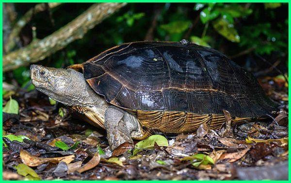 jenis reptil kura kura, kenapa kura kura termasuk reptil, laporan praktikum reptil kura kura, mengapa kura kura termasuk reptil, kura kura termasuk reptil, Kura-kura bintik kuning