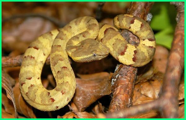 jenis ular endemik indonesia, jenis ular asli indonesia, hewan reptil asli indonesia, hewan reptil khas indonesia adalah, reptil wikipedia bahasa indonesia, reptil di indonesia, jenis reptil di indonesia, hewan reptil di indonesia, jumlah reptil di indonesia, jenis reptil indonesia, reptil khas indonesia