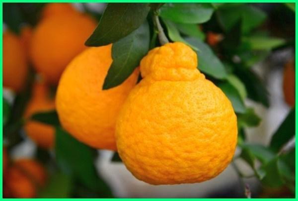 macam macam jeruk dan cirinya, macam jeruk dan gambarnya, macam jeruk dan namanya, macam daun jeruk, macam jenis jeruk di indonesia, gambar macam macam jeruk dan namanya, macam macam jeruk dan fungsinya, macam gambar jeruk, macam macam jeruk hias