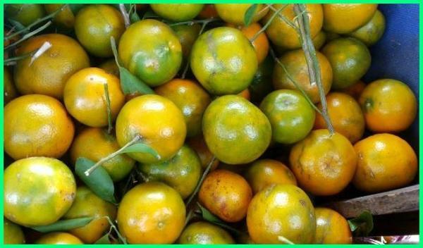 macam macam jeruk dan cirinya, macam jeruk dan gambarnya, macam jenis jeruk di indonesia, gambar macam macam jeruk dan namanya, macam macam jeruk yang ada di indonesia